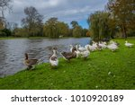 gooses are looking for foods at ... | Shutterstock . vector #1010920189