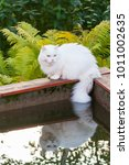 white angora cat sits on the... | Shutterstock . vector #1011002635