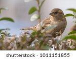 the house sparrow  passer... | Shutterstock . vector #1011151855