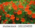 Orange Nasturtium Flowers In...