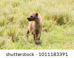 the spotted hyena  crocuta... | Shutterstock . vector #1011183391