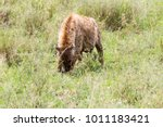 the spotted hyena  crocuta... | Shutterstock . vector #1011183421
