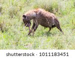 the spotted hyena  crocuta... | Shutterstock . vector #1011183451