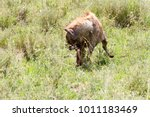 the spotted hyena  crocuta... | Shutterstock . vector #1011183469