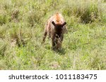 the spotted hyena  crocuta... | Shutterstock . vector #1011183475