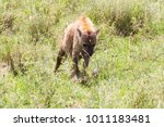 the spotted hyena  crocuta... | Shutterstock . vector #1011183481