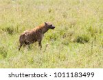 the spotted hyena  crocuta... | Shutterstock . vector #1011183499