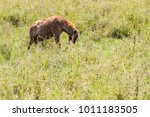 the spotted hyena  crocuta... | Shutterstock . vector #1011183505