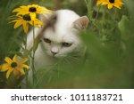 Beautiful White British Cat...