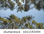 the trees pine on sky... | Shutterstock . vector #1011192454