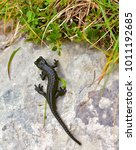 Small photo of The alpine salamander (Salamandra atra) on the stone, high in the mountains. Is a shiny black small animal. Extremely rare.