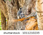 tufted gray langurs  mother and ... | Shutterstock . vector #1011210235
