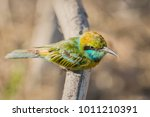 blue tailed bee eater  merops... | Shutterstock . vector #1011210391