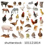 Livestock A White Background White - Fine Art prints
