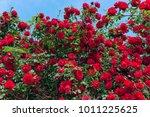 Stock photo red rose bush in the garden 1011225625
