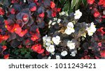 colorful flowers image which... | Shutterstock . vector #1011243421