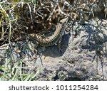 lizard enjoying the sun in... | Shutterstock . vector #1011254284