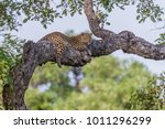 African Leopard  Panthera...