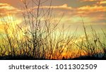 dry flower grass group in view... | Shutterstock . vector #1011302509