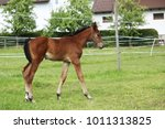 young foal of sporthorse...