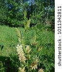 Small photo of Wild Licorice Plant