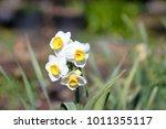 narcissus flower image | Shutterstock . vector #1011355117
