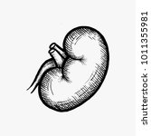 hand drawn kidney vector... | Shutterstock .eps vector #1011355981