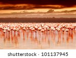 African Flamingos In The Lake...
