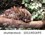 cutey cat in kyoto japan | Shutterstock . vector #1011401695
