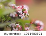 blooming branch of abelia... | Shutterstock . vector #1011403921