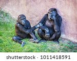 young western lowland gorilla   ... | Shutterstock . vector #1011418591