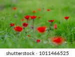 Red anemones in the fields