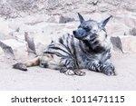brown hyena  striped hyena | Shutterstock . vector #1011471115
