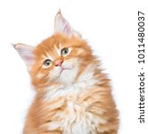 Stock photo fluffy maine coon kitten isolated over white background 1011480037
