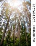 rural forest scene  pine forest ... | Shutterstock . vector #1011491239