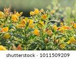 evening primrose  oenothera  | Shutterstock . vector #1011509209