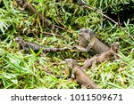 big lizard in costa rica | Shutterstock . vector #1011509671