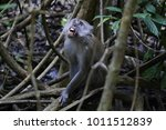 the long tailed macaque  macaca ... | Shutterstock . vector #1011512839