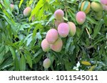 ripe mangoes on tree. bunch of...   Shutterstock . vector #1011545011