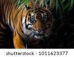 Beautiful sumatran tiger on the ...