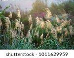 japanese silver grass   Shutterstock . vector #1011629959