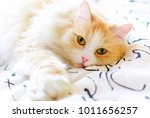 Stock photo white red cat luxuriates in bed at dawn 1011656257