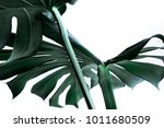 real monstera leaves decorating ... | Shutterstock . vector #1011680509