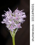 Small photo of Toothed Orchid - Neotinea tridentata Syn. Orchis tridentata