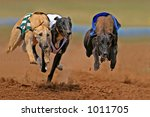 Greyhounds at full speed during a race - stock photo