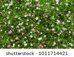 Small photo of Gypsophila is a genus of flowering plants in the carnation family, Caryophyllaceae. They are native to Eurasia, Africa, Australia, and the Pacific Islands.