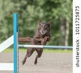 Small photo of Australian Kelpie jumps over an agility obstacle in agility competition
