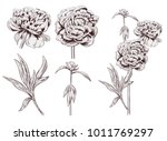 set of peony  brown  sepia ... | Shutterstock .eps vector #1011769297