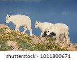 mountain goats on mount evans ... | Shutterstock . vector #1011800671