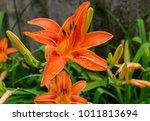Garden Lily With Orange Flower...